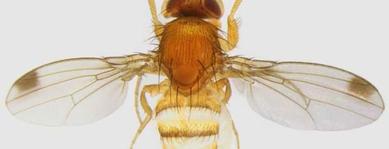 Spotted wing drosophila, Photo credit: IRIIS Phytoprotection
